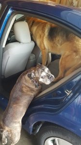 dog lifted into the car